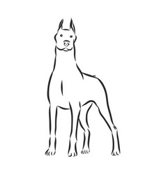 Dog doberman breed on white background vector