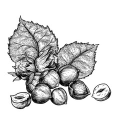 hazelnuts nuts and leaves hand drawn sketches vector image