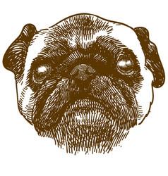 engraving antique pug dog head vector image