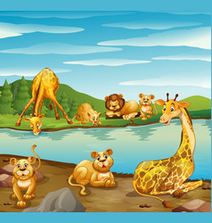 Scene with giraffes and lions river vector