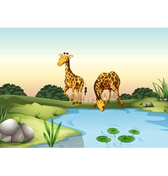 Giraffe drinking water at the pond vector