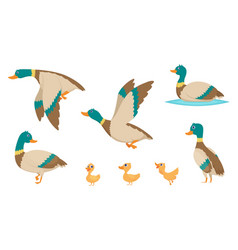 Wild ducks young swimming birds water pond little vector