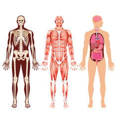 Human organ skeleton and muscular system vector