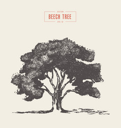 high detail vintage beech tree vector image
