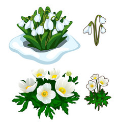 Snowdrops peeping out of snow and white flowers vector