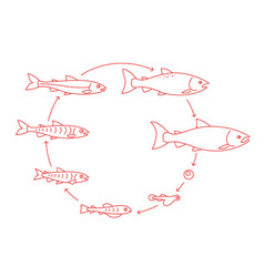 Round stages salmon fish growth set from parr vector