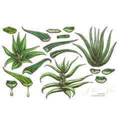Aloe vera leafe and slices vector