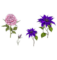 set with clematis and rose flowers vector image