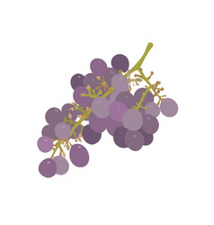 A bunch of grapes isolated vector