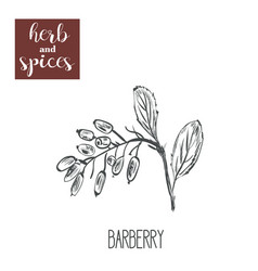 barberry hands drawing herbs and spices vector image