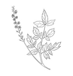 drawing black cohosh flower vector image