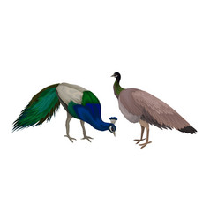 Peafowl or peacock as bird specie with extravagant vector