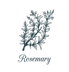 rosemary branch hand drawn vector image