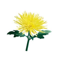 Yellow chrysanthemum golden-daisy vector