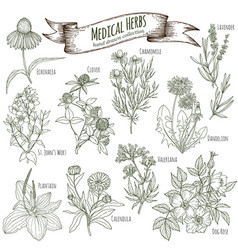 medicinal herbs collection vector image