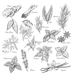Sketch spices and herb plants flavorings vector