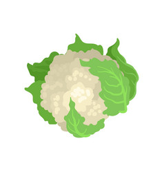 cauliflower with bright green leaves natural and vector image