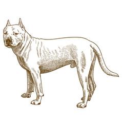 Engraving antique pitbull vector