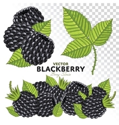 Blackberry Set vector image