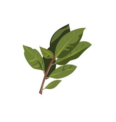 bay leaf branch isolated on white vector image vector image