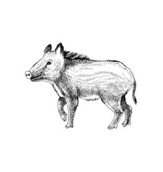 hand drawn wild boar vector image