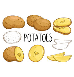 Potatoes isolated on white background vector