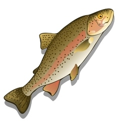 Trout closeup on a white background fish vector