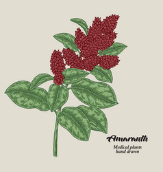 Hand drawn amaranth with leaves and flowers vector