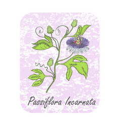 Colored herbal plant maypop on textured substrate vector