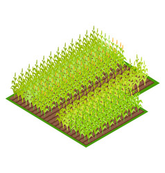 Field with growing corn crops vector