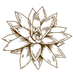 engraving of succulent echeveria vector image