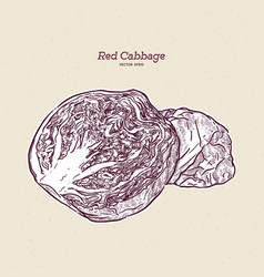 Red cabbage hand draw sketch vector