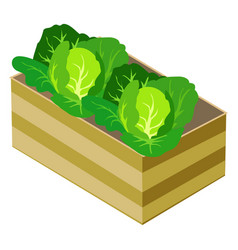 Green cabbages in wooden box isolated on white vector