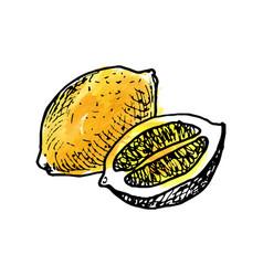 ink drawing lemon vector image