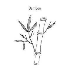 Bamboo branch with leaves vector