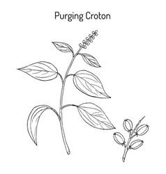Purging croton croton tiglium medicinal plant vector