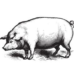 Swine vector