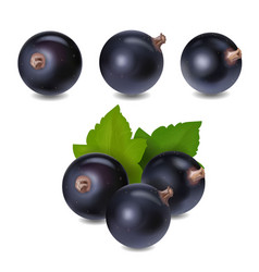 blackcurrant berry realistic 3d vector image