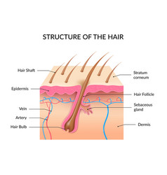 realistic human hair anatomy infographics vector image