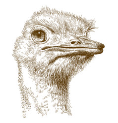 Engraving of ostrich head vector