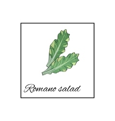 Romano salad Isolated drawn vegetables on vector