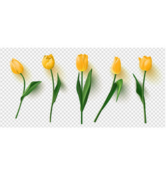 realistic tulips set on transparent vector image