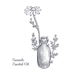 Drawing camomile essential oil vector