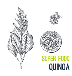 quinoa super food hand drawn sketch vector image