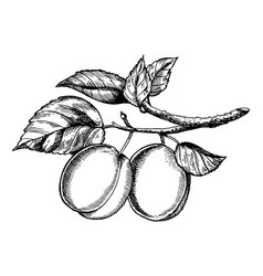 sprig of plum engraving vector image vector image