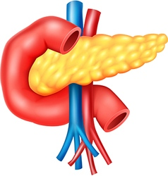 Cartoon of Human Internal Pancreas Anatomy vector