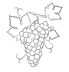 Grapes sketch vector