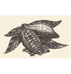 Cacao tree leaves fruit branch vintage engraving vector image