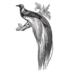 King bird of paradise vintage vector