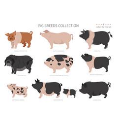 Pig breeds collection 4 farm animals set flat vector